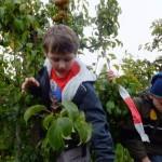 6 Fleiߟig werden vom Ernteschlitten aus Birnen geerntet.