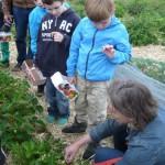 1 Frau Kitt zeigt, wie man richtig Erdbeeren erntet