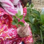 6 Die Kinder durften Ableder der Erdbeerpflanze mitnehmen